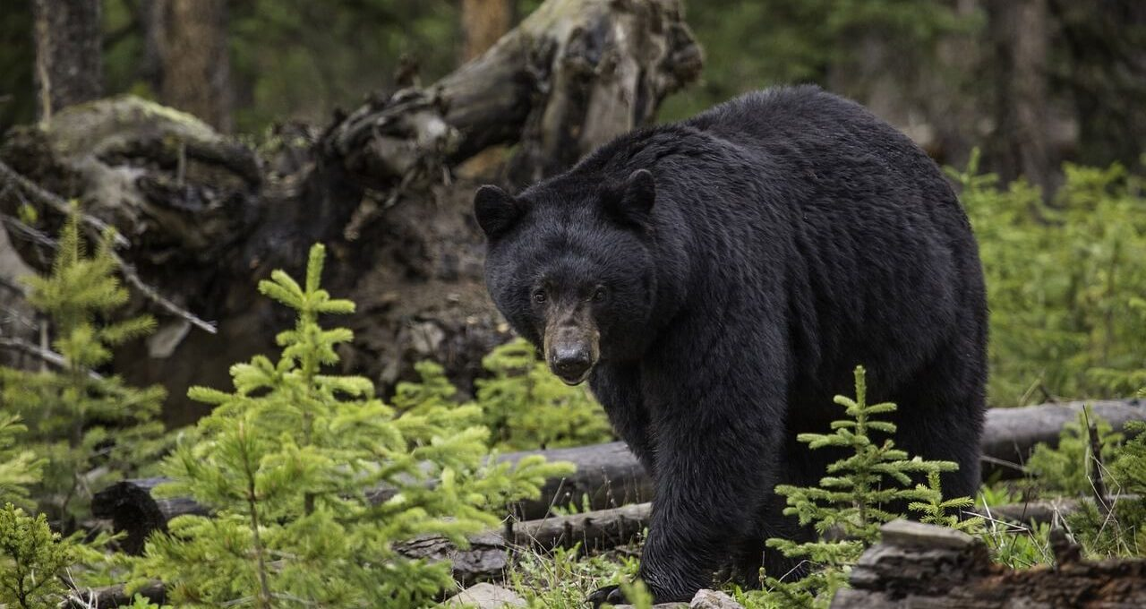black bear in wildlife