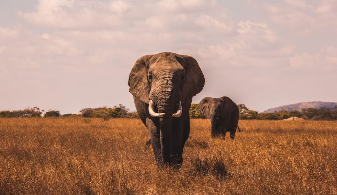 two elephants in safari