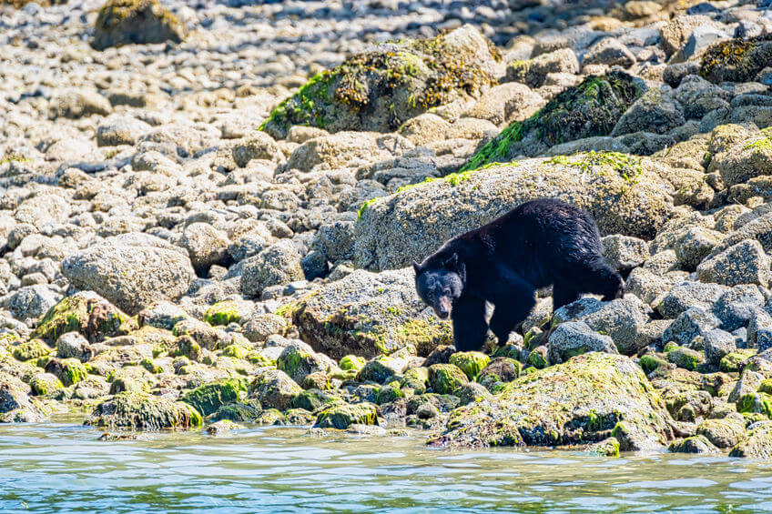 wild black bear near to river